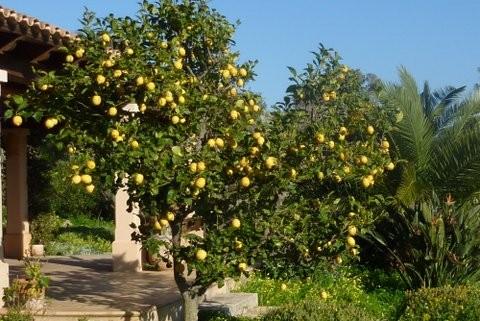 Zitronenbaum.Bija